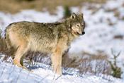 The Kenai Peninsula Wolf Wolf